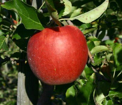 za 6 maart — Appel- en perenbomen snoeien